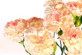 Yellow-pink carnation flowers — Stock Photo