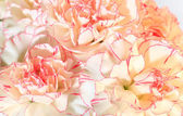 White-pink carnation flowers background — Stock Photo