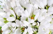 Snowdrop flowers background — Stock Photo