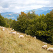 Sheep in mountain — Stock Photo #4532814