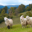 Sheep in mountain — Stock Photo