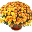 Chrysanthemums in flowerpot — Stock Photo