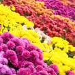 Chrysanthemum flower-bad — Stock Photo