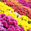 Chrysanthemum flower-bad - Stock Photo