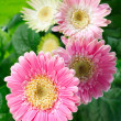Stock Photo: Pink gerberflowers