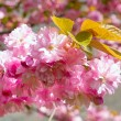 Pink Cherry blossom — Stock Photo #4538183