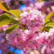 Stock Photo: Pink Cherry blossom
