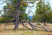 Gebroken tree op herfst bergplateau — Stockfoto