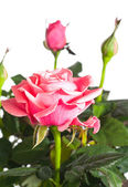 Bloeiende roze plant — Stockfoto