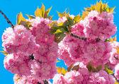 розовый вишневый цвет — Стоковое фото