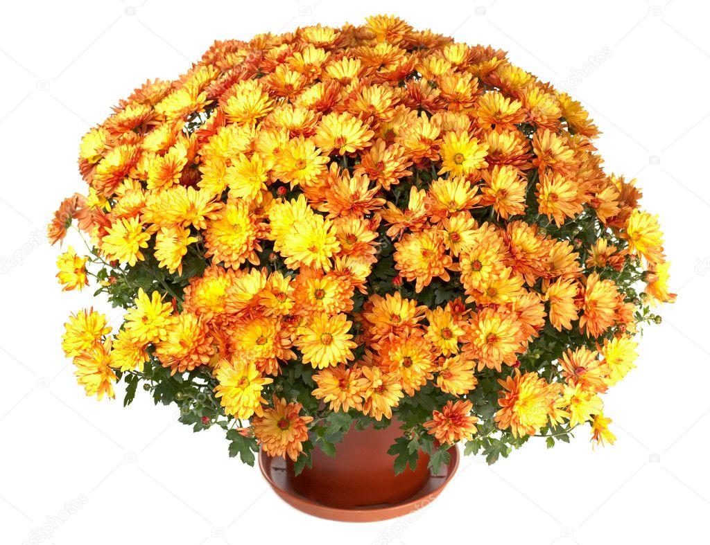 chrysanthemen in blumentopf stockfoto wildman 4533335. Black Bedroom Furniture Sets. Home Design Ideas