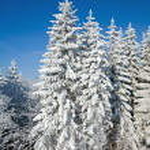 Winter spruce trees — Stock Photo