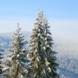 Winter spruces in mountain — Stock Photo #4543276