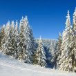 Stock Photo: Winter spruce trees