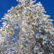 Winter spruces tops — Stock Photo