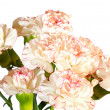 Stock Photo: White-pink carnation flowers