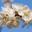 Blossoming twig of cherry-tree — Stock Photo