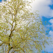 Stock Photo: Spring willow tree on sky background