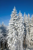 Winter spruce trees — Stockfoto