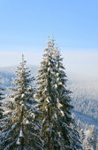 Winter spruces in mountain — Stock fotografie