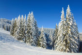 Winter spruce trees — 图库照片