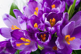 Crocus bloem — Stockfoto