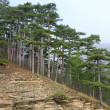 Summer misty pine forest on hill — Foto Stock