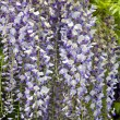 "Wisteria sinensis"" - Stock Photo"