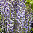 "Wisteria sinensis"" — Stock Photo"
