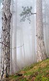 Brouillard épais dans la forêt de pins de l'été — Photo