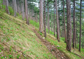 Wood trail in summer pine forest on hill — Stock Photo