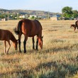 Horses on meadow — Stock Photo