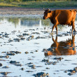 Cow go by swamp — Stock Photo
