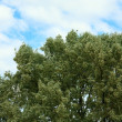 Stock Photo: Top of willow tree on sky background