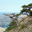 Pine tree on summer mountain hill (Crimea, Ukraine) — Stock Photo