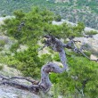 Pine tree on summer mountain hill (Crimea, Ukraine) — Stok fotoğraf