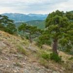 Pine tree on summer mountain hill (Crimea, Ukraine) — Stock Photo #4576166