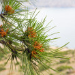 Pine tree (macro) — Stock Photo
