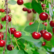 Twig of cherry-tree with red cherries — Stock Photo