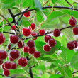 Twig of cherry-tree with red cherries — Stock Photo #4577934
