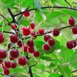 Stock Photo: Twig of cherry-tree with red cherries