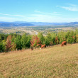 Cows on autumn hill — Stock Photo