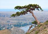 Pine tree on summer mountain hill (Crimea, Ukraine) — Stok fotoğraf