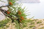 Pine tree (macro) — Stock Photo