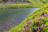 Fiori di rododendro vicino lago di montagna — Foto Stock