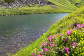 Ormangülü çiçek dağ gölü yakınlarında — Stok fotoğraf