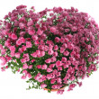 Chrysanthemums flowers in heart shape — Stock Photo