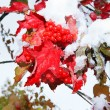 First snow on viburnum — Stock Photo