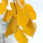 Yellow lime tree twig — Stock Photo