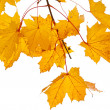 Yellow maple twig — Stock Photo
